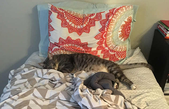 Phoenix the gray tabby cat lying on a bed