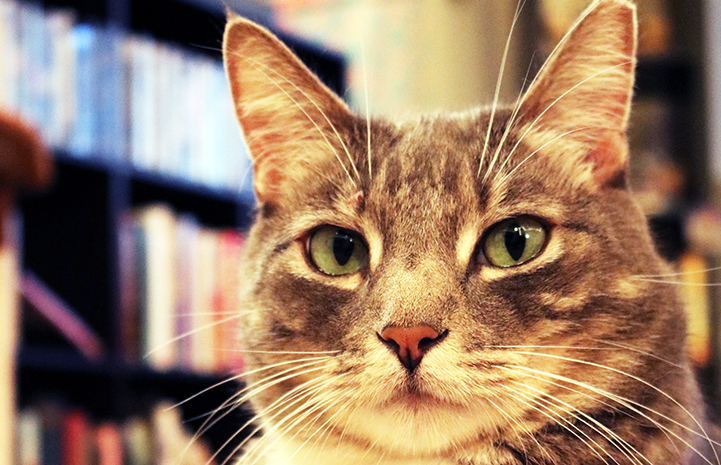 The face of Phoenix, a gray tabby cat in a home