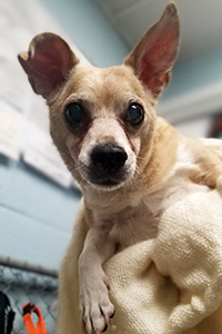 Richie the senior brown Chihuahua mix dog