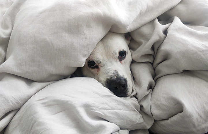 Zena the dog snuggled up under a white blanket with only her face peeking out