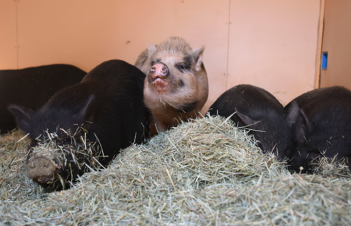 The potbellied pigs receive plenty of dehydrated fruits, fig cookies, almonds and extra salad greens