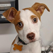 Aura the puppy available for adoption from New York
