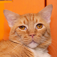 Adopt Buddha a cat available for adoption from Los Angeles