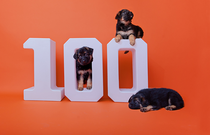 Three rottweiler-type puppies in and around a white number 100