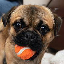 Pug with ball in mouth