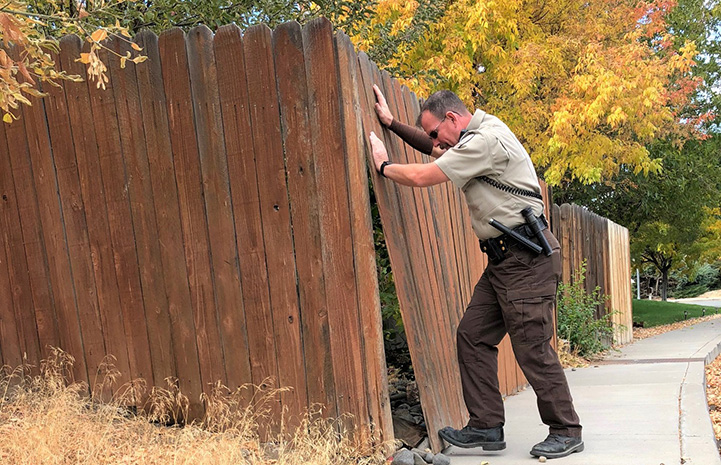 Animal control officer pushing a wooden fence so that it's upright