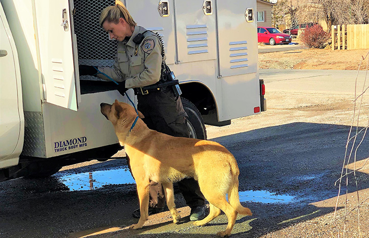 Woman animal control officer loading a shepherd mix into her vehicle