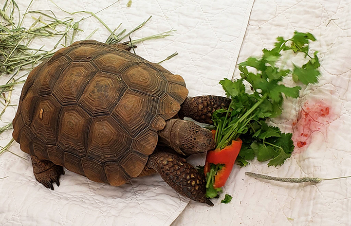 Agate the tortoise eating a pepper and cilantro