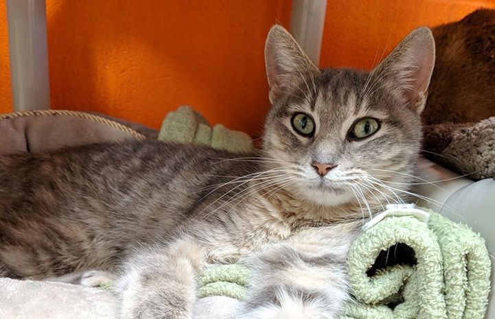 Nefertiti, a gray tabby cat, lying in a cat bed