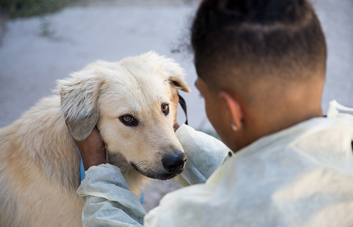 Male shelter worker wearing a protective gown petting a light tan colored dog