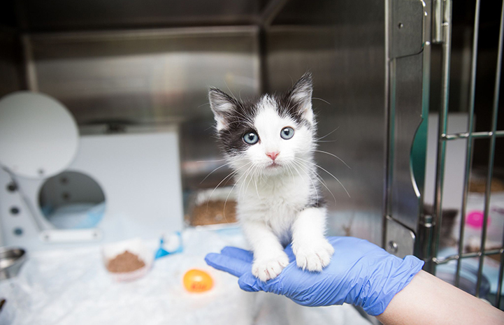 Black and white kitten in a kennel standing on a rubber gloved hand of a person