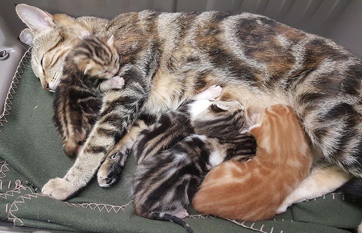 Savanna, the classic tabby cat, lying on her side nursing her little kittens