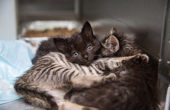 A fuzzy black kitten lying together with two other kittens