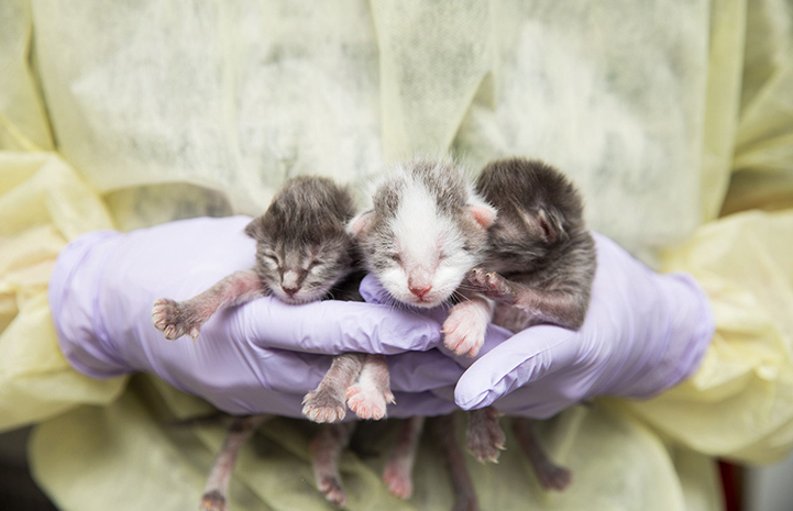 A person wearing rubber gloves and a gown holding three neonatal kittens