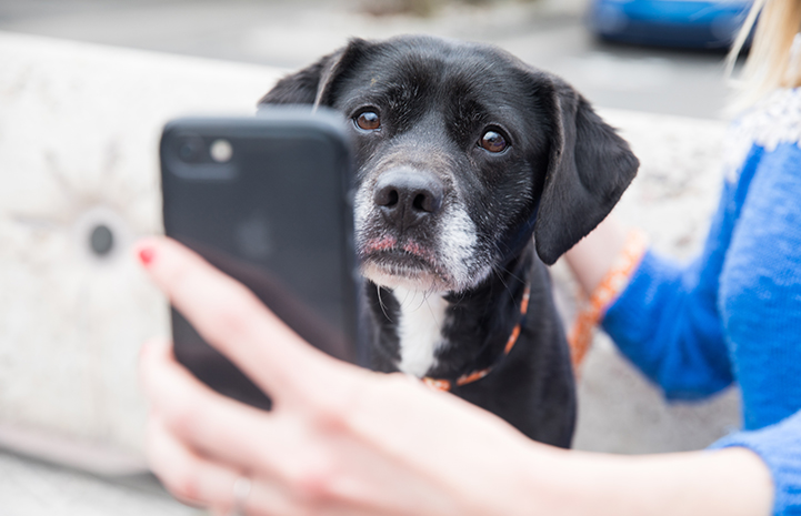 Person taking a cell phone photo of a black Labrador mix dog with a gray muzzle