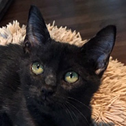 Adopt Ash the cat available for adoption from Houston