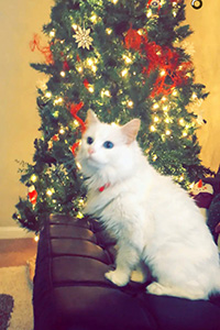 White cat Pia sitting in front of a Christmas tree