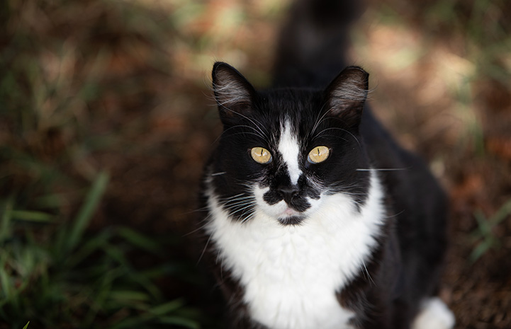 Black and white ear-tipped community cat
