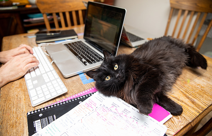 Black longhair cat lying on a desk next to a person working on a laptop computer