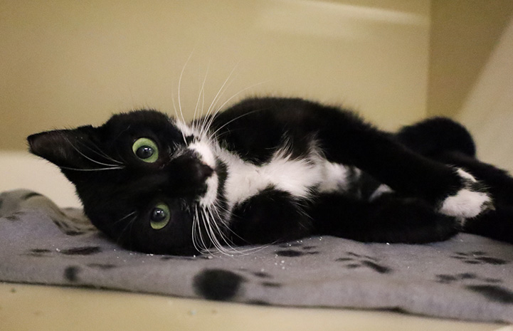 Black and white cat lying on her side on a blanket