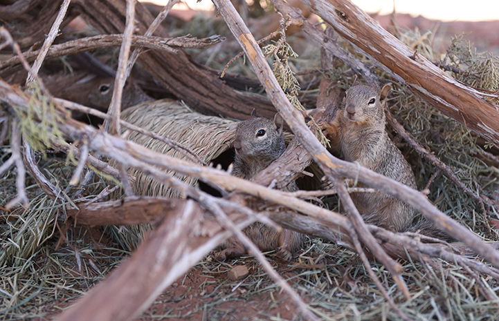 Baby rock squirrels hiding in some brush