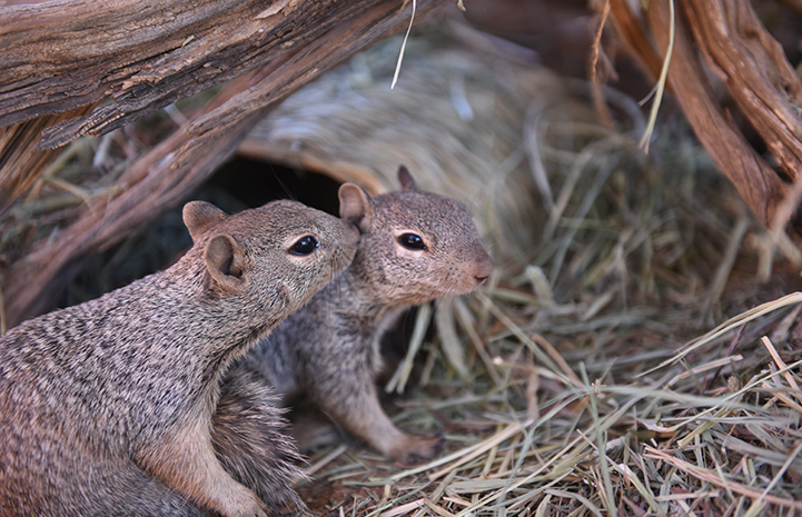 Two baby rock squirrels, with one sniffing the other's ear