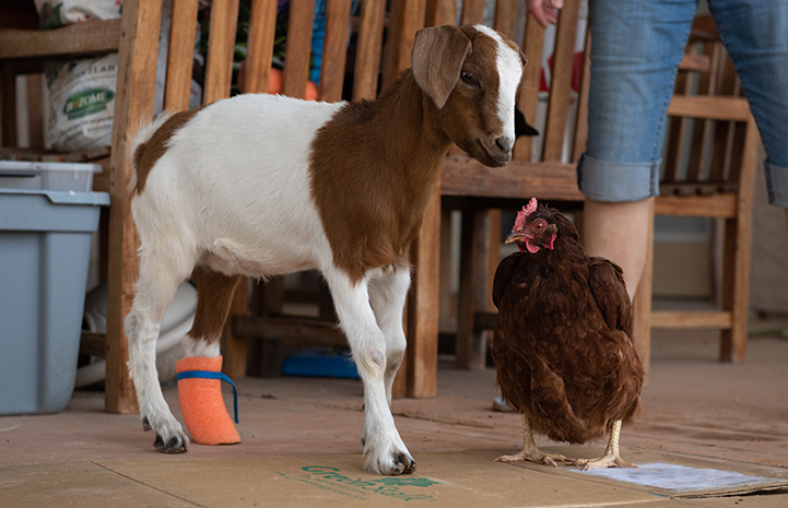 Mrs. Chicken the chicken standing next to Peaches the baby goat
