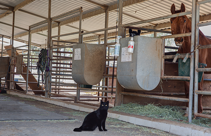 Hansel, a black shorthair barn cat, in front of a stall containing a brown horse
