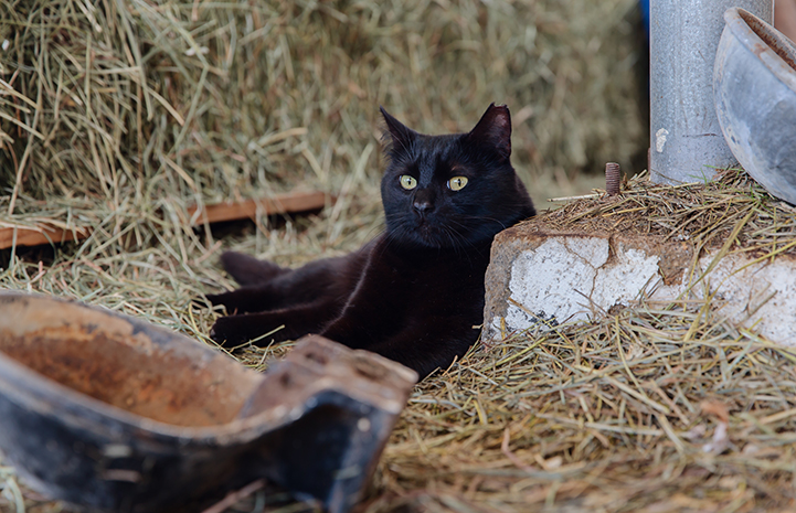 Hansel, a black shorthair cat, lying in some straw in a barn