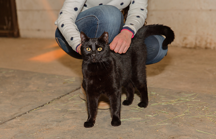 Hansel, a black shorthair cat, being pet by a person