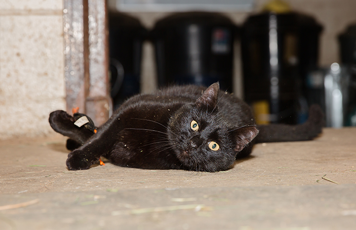 Hansel, a black shorthair cat, lying down on his side in a barn and looking directly at the camera