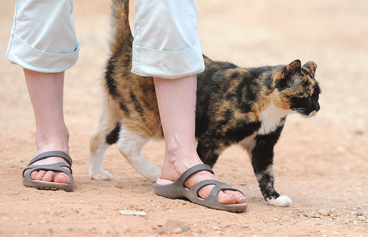Meow the calico cat walking next to a person's feet