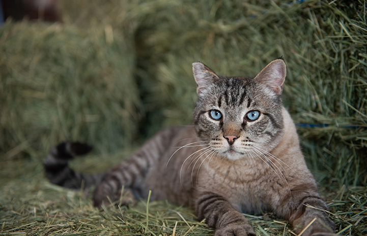 Leopold the new Horse Haven barn cat lying on some hay
