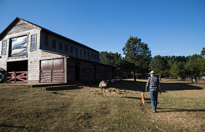 Woman and cat walking toward a barn and an emu