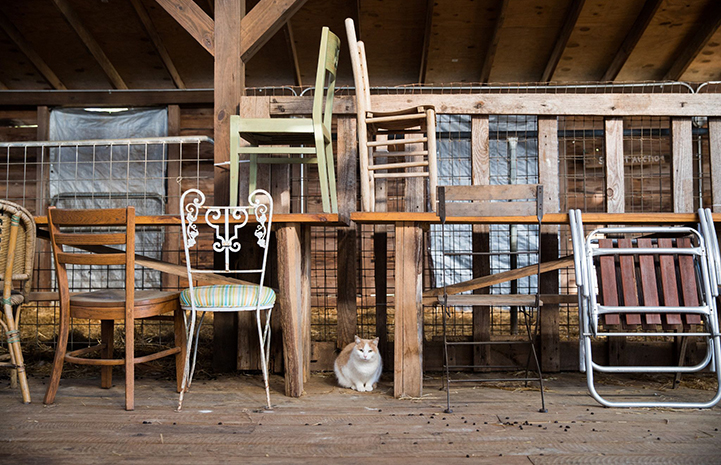 White and orange barn cat sitting on a wooden floor with tables and chairs above him