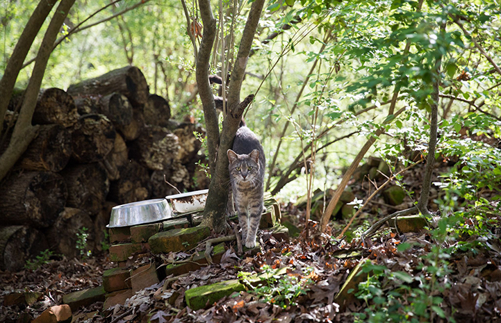 Gray tabby cat in some woods, in front of a wood pile and stainless steel cat food bowl