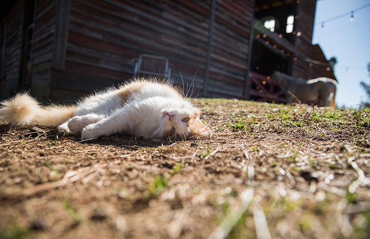 Cat lying down on his side in the yard in front of a barn with a horse in the background