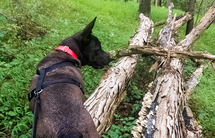 Sam the dog walking on a leash and harness over some fallen logs in the woods