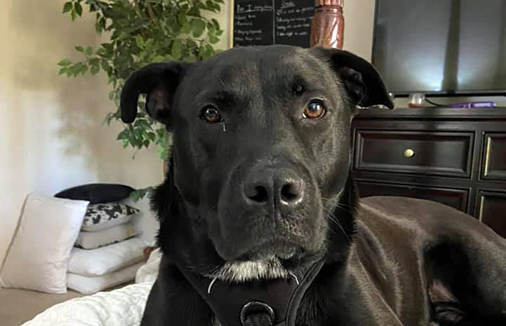 The face of Rocky, a big black dog