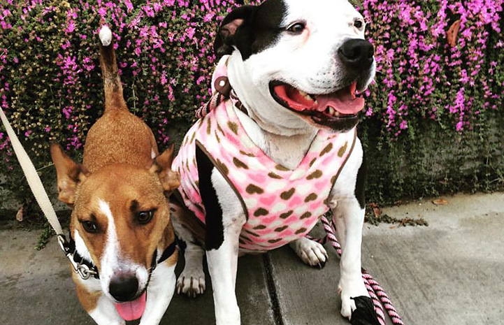 Georgia the dog wearing a bandanna and sitting on a sidewalk next to another smaller dog with flowers behind them