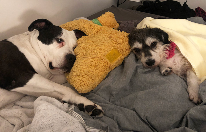 Georgia the dog sleeping on blankets and pillows next to another smaller dog