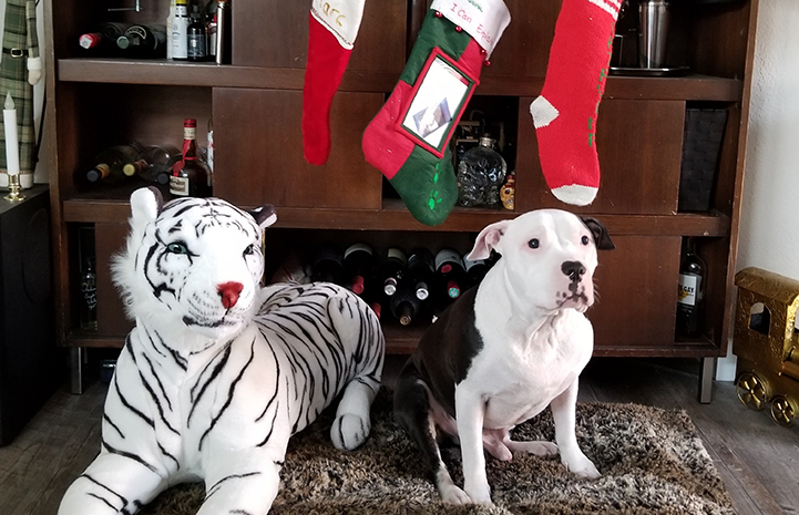 Charger, a blind black and white pit bull type dog, in front of Christmas stockings and next to a stuffed toy white tiger