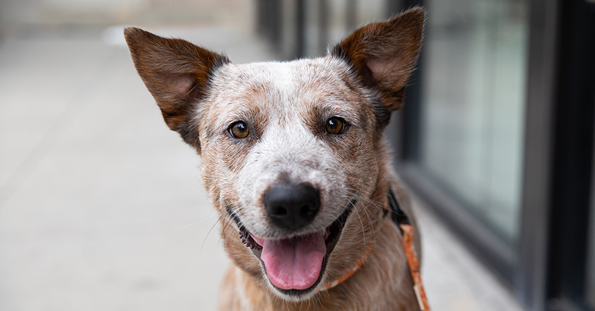 Red heeler dog with mouth open in smile