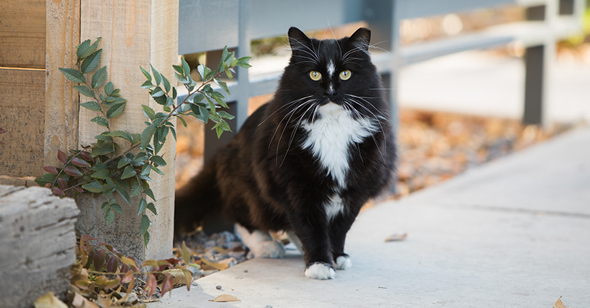 Longhaired, ear-tipped black and white outdoor cat