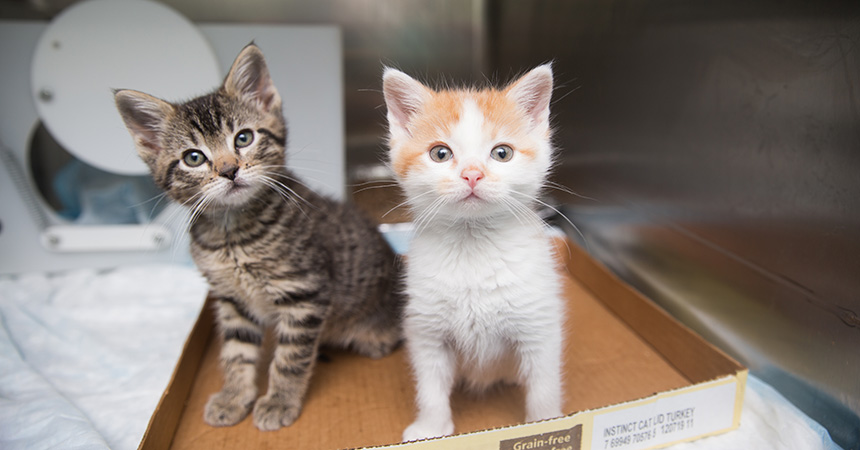 An orange and white kitten and tabby kitten in a cardboard flat in a shelter kennel
