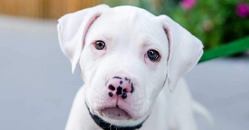 The face of a white puppy with a pink and black spotted nose