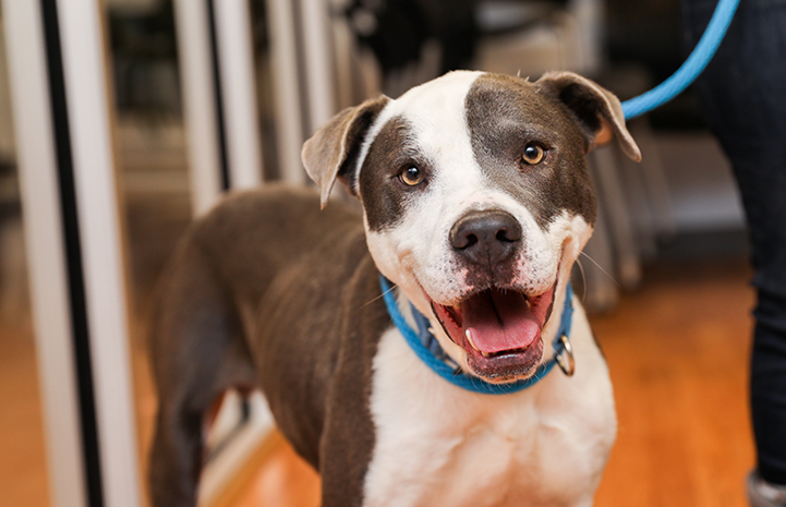 Lucky, a gray and white pit-bull-type dog with a wide smile