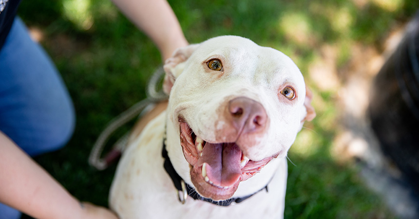 Smiling white pit-bull-type dog with a person next to her