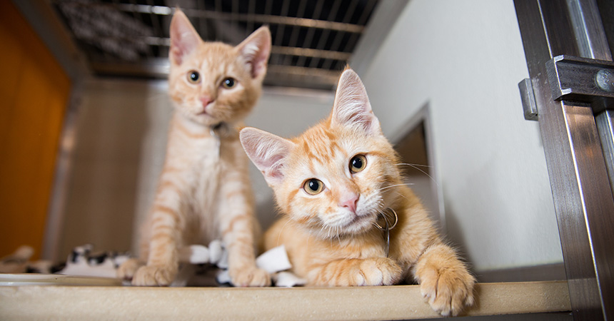 Two orange tabby kittens in a kennel