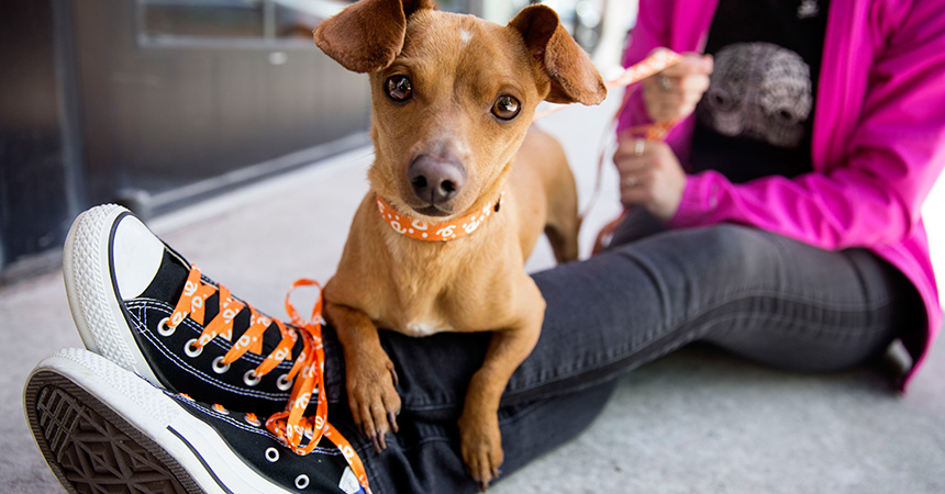 Small brown dog lying over a person's legs, by shoes with orange and white Best Friends shoelaces